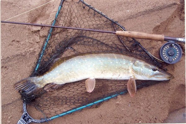 Fly Fishing for Pike is great fun on The Wyre. Hornby's, July